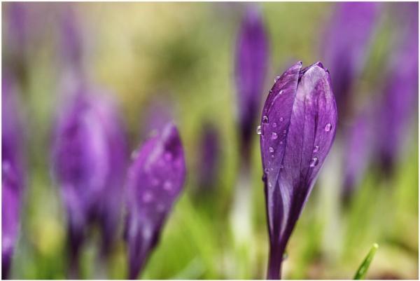Purple Crocus by dark_lord