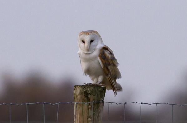 Barn Owl by ali63