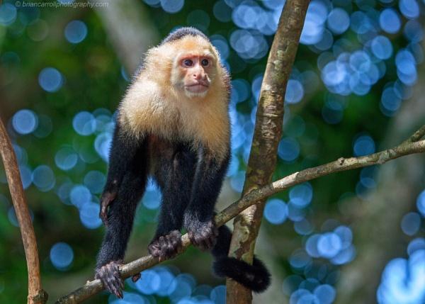 "White Throated Capuchin \""Cebus Capucinus\"", Costa Rica by brian17302"