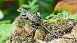 Small Lizard, catching the rays, Costa Rica