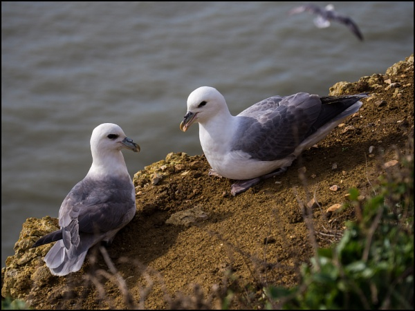 Fulmars on the Dorset Coast by bwlchmawr