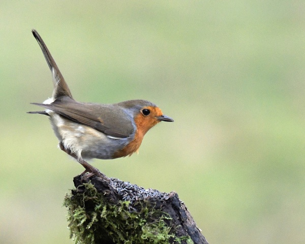 Robin by Holmewood