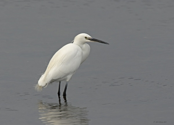 Little Egret (1) 2017 by ade123