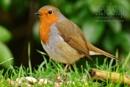 Robin by StevenFenton