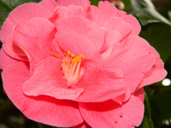 Pink Flower - Magnolia by GrigoryAleksin