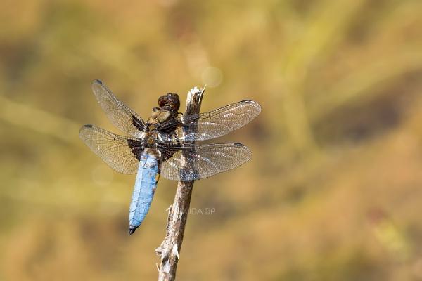 Dragonfly by duba