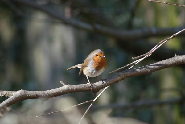 Sweet Robin by Owen05