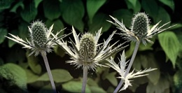 Thistles, A Thorny Issue