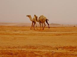 Camel Play