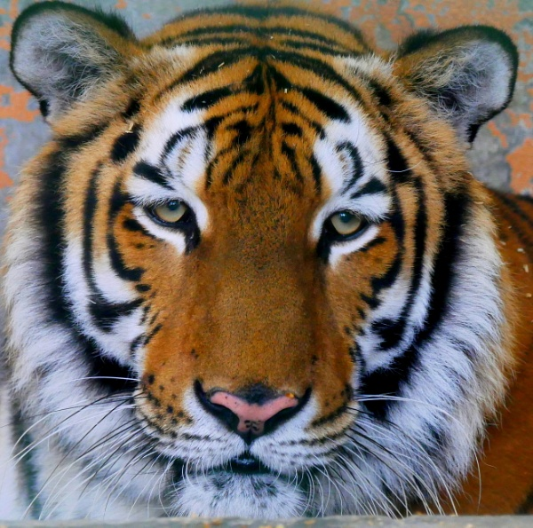 African Tiger by Savvas511