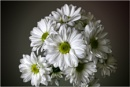 Chrysanthemums by Big_Beavis