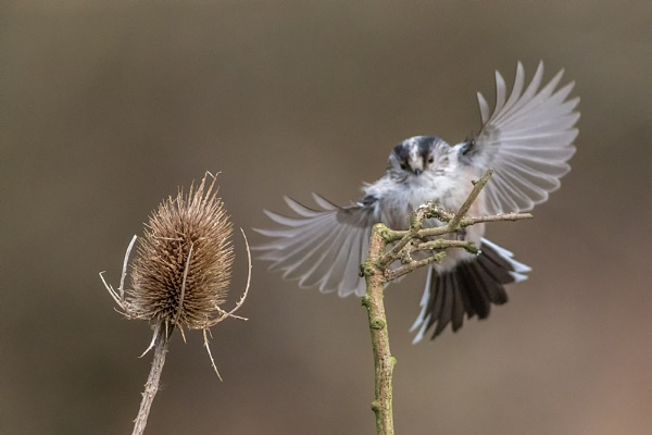 Incoming Long Tailed Tit by photographerjoe
