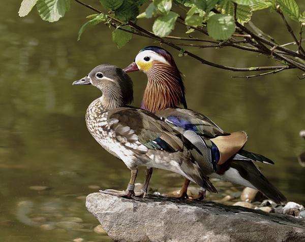Mr and Mrs Mandarin Ducks by Granddad