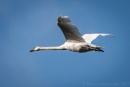 Swan In Flight Over The Stour by Trev_B