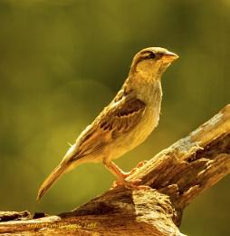 Sparrow. 2103