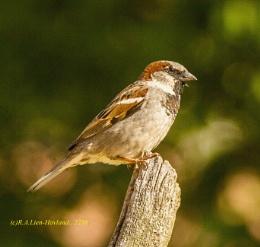 Sparrow. 2258