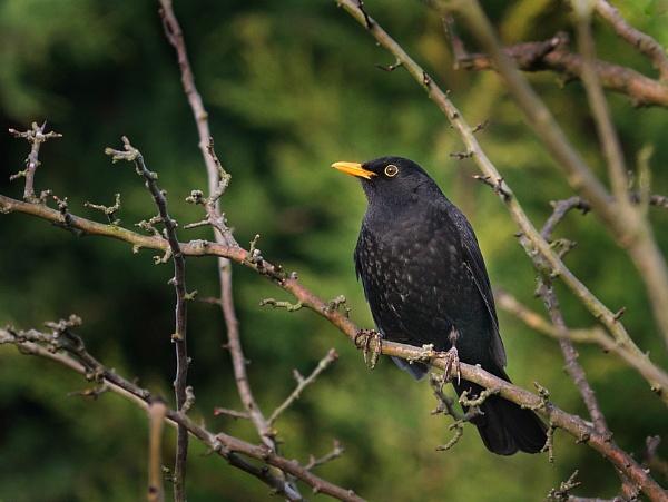 Blackbird by tom_earwaker