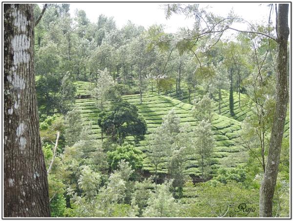 Tea Garden by RajaSidambaram