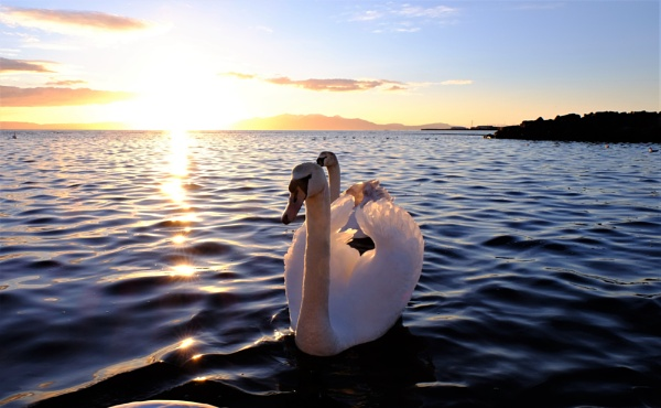 sunset swan by steve486