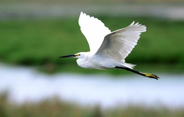 Egret in flight by swami1969