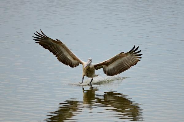 Grey Pelican landing by swami1969
