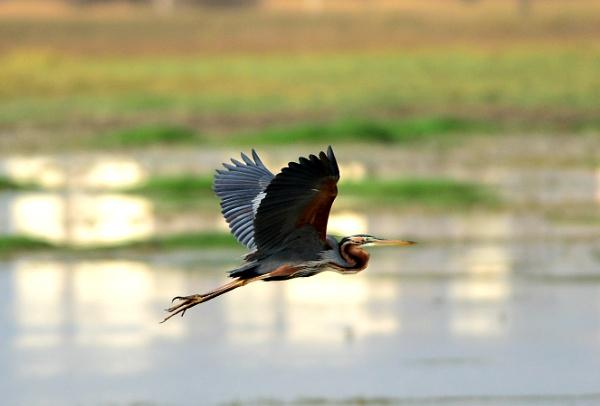 Grey Heron by swami1969