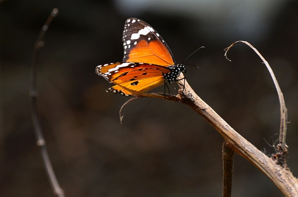 Butterfly by swami1969