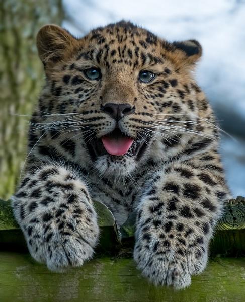 Leopard Cub by MartinWait