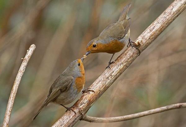 Male Robin feeding the female by hibbz