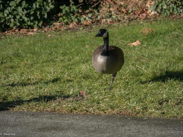 Goose by Swarnadip