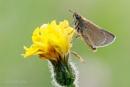Small Skipper - Thymelicus sylvestris by Mendipman