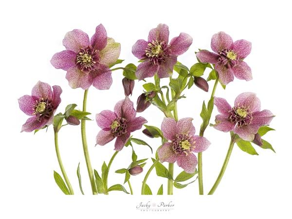 Helleborus x hybridus \'Tutu\' by jackyp