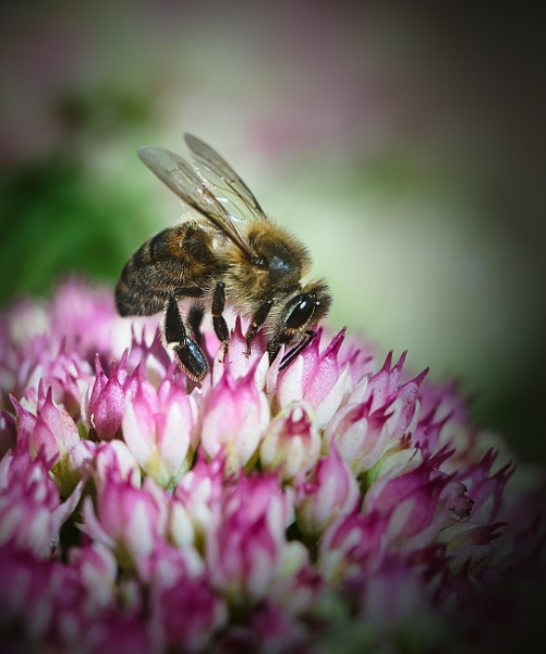 Bee and Sedum by gowebgo