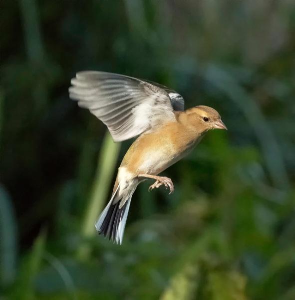 Chaffinch in flight. by sidnox