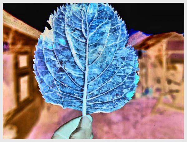 BLUE LEAF. by kojack