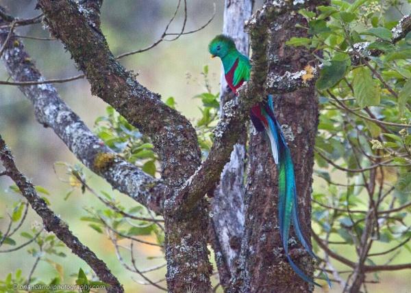 Resplendent Quetzal, Costa Rica by brian17302