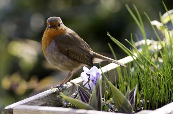 Robin by pentaxpatty
