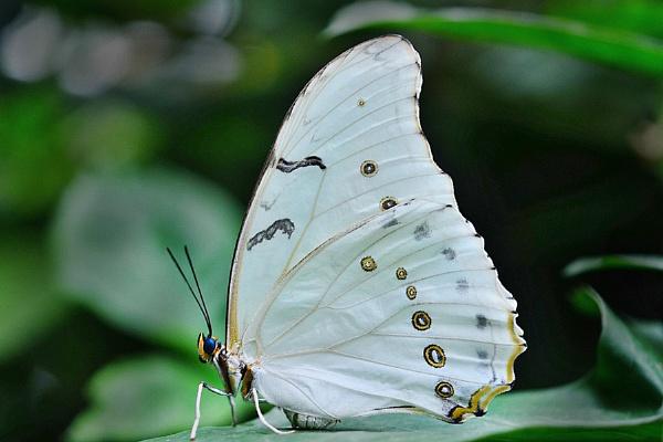 White Morpho--Morpho polyphemus. by bobpaige1