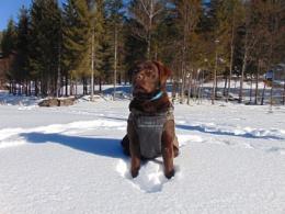 Labrador in snow