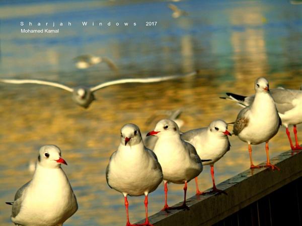 Black Head Gulls by SharjahBirds