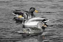 Three yellow beaks are we.