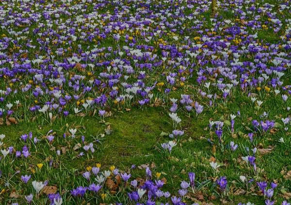 Crocii Field by JJGEE