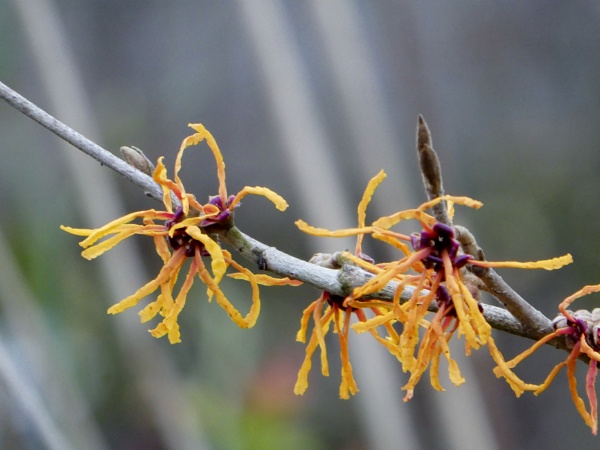 Witchhazel Threave by k8ros69