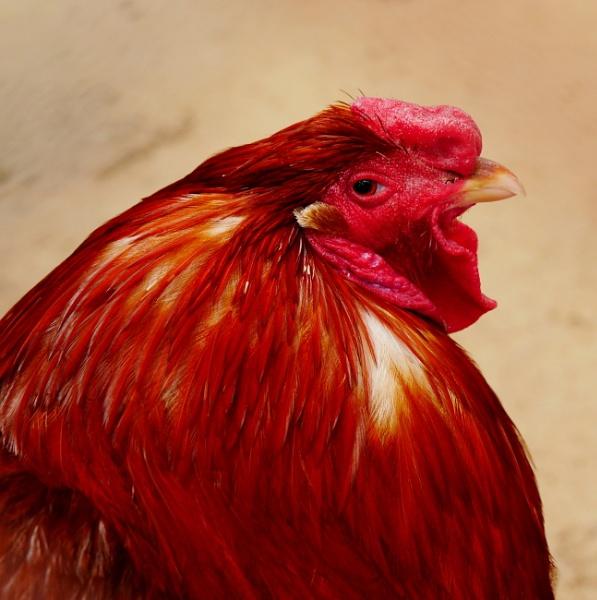 Red Chicken Breed by Savvas511