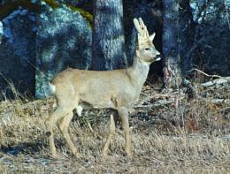 Nature Deer buck