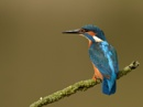 Kingfisher Male by KBan