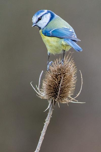 Blue Tit on Teasel by photographerjoe