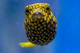 Starry Puffer Fish