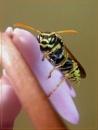 wasp on hyacinth by CarolG