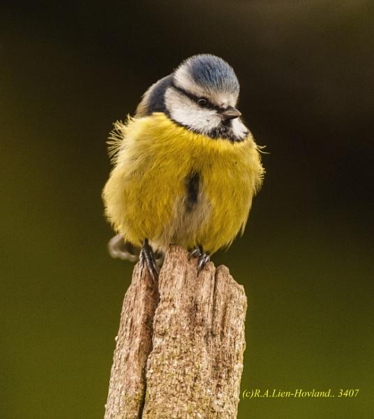 Blue-Tit. 3407 by Richard Hovland